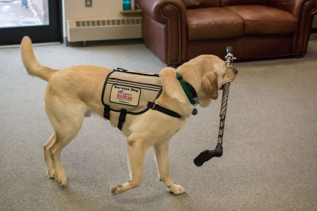Support Animals from VetDogs - A Trained Dog Bringing a Cane to Its Owner
