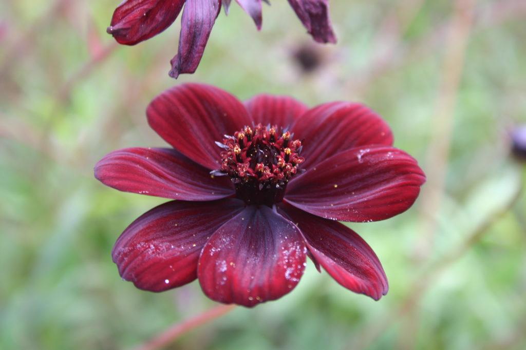 Chocolate Cosmos – Cosmos atrosanguineus - extinct flower.