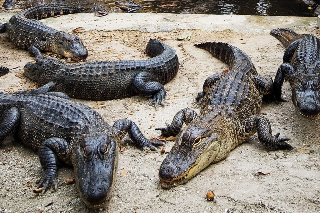 According to a New Study, Alligators Can Regrow Their Massive Tails