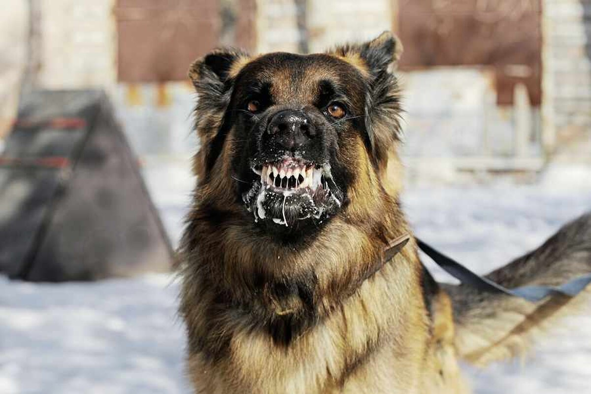 Dog with rabies