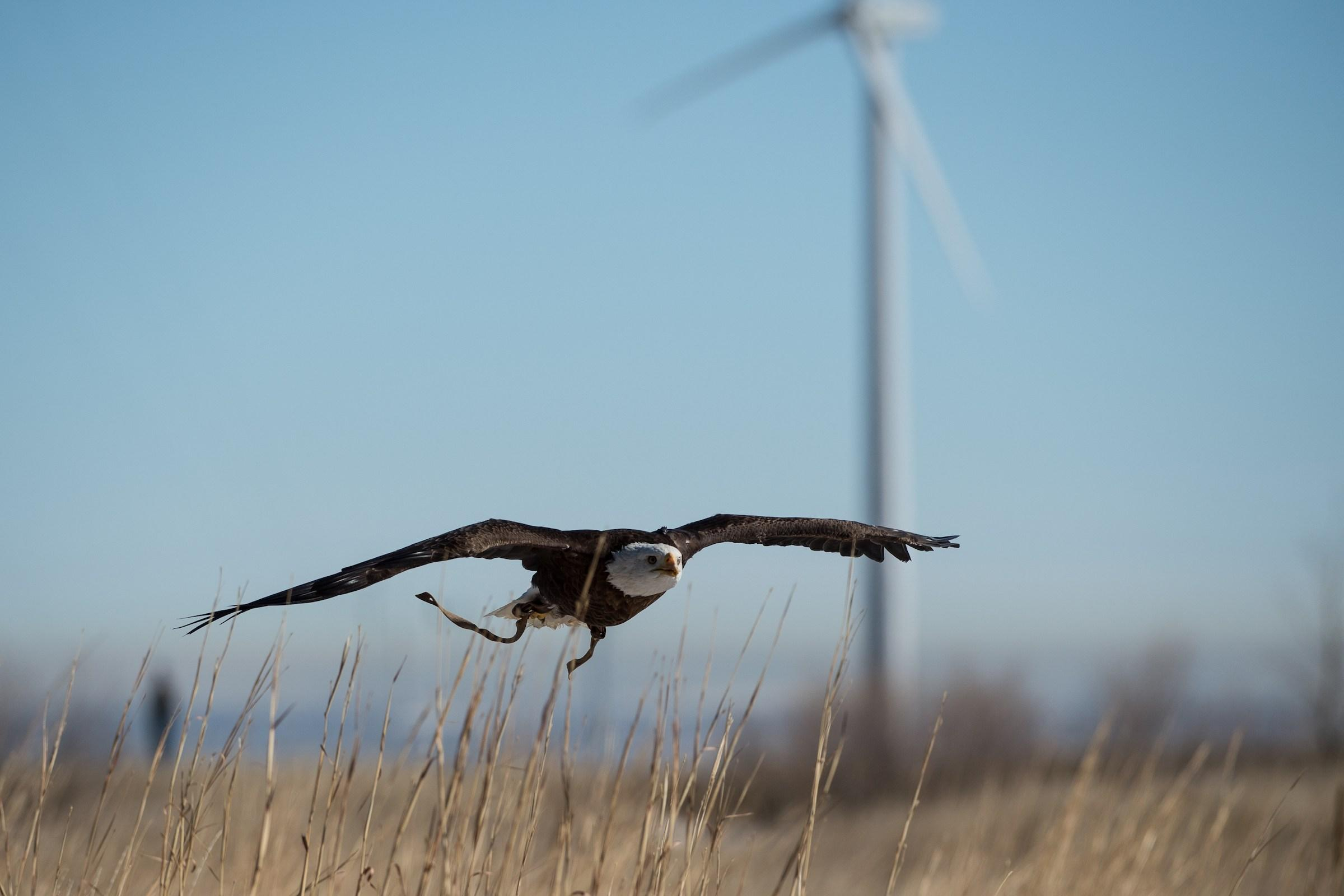 Bald eagle flying with a wind turbine in the background