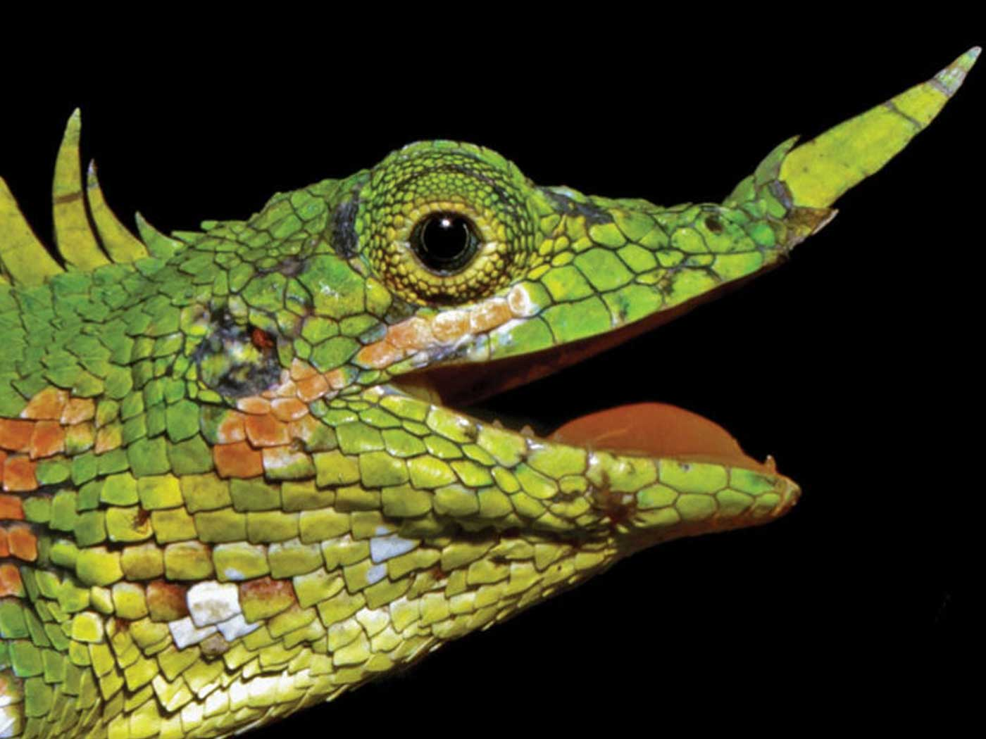 The rediscovered lizard - Harpesaurus Modigliani