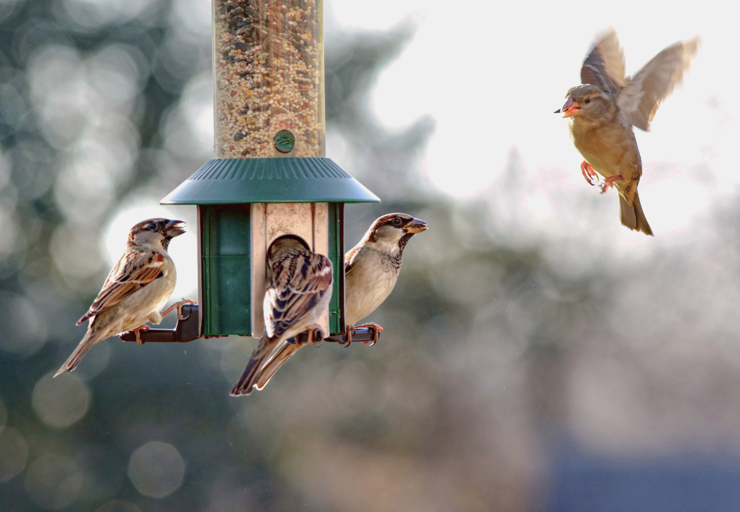 Birds won't eat at feeders where they don't feel safe and protected from predators. Finding the right spot can be a challenge, but worth it in the end. (blightylad-infocus/Getty Images) Sparrow about to descend onto a bird feeder.