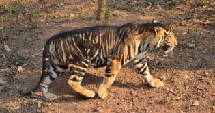 """India's """"Black"""" Tigers Have Thick Stripes Due to Genetic Mutation"""